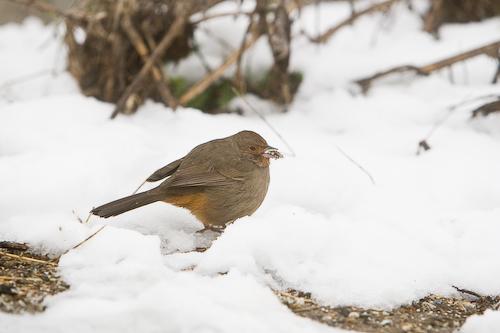 Bird in the snow.  Palo Alto, CA